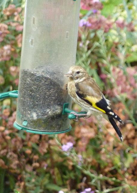 Juvenile goldfinch on a feeder in Davington