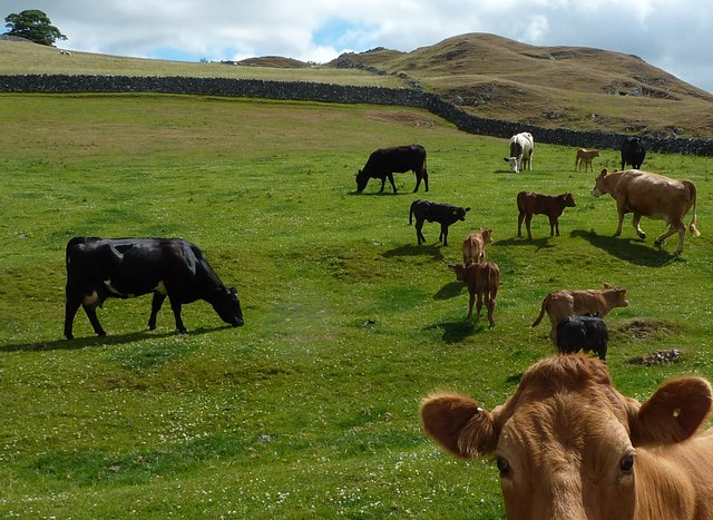 Cows and calves on Narrowdale Hill