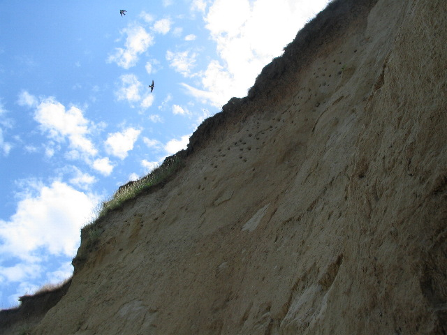 Sand martin nest holes, Reculver