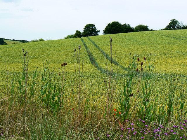 Wheat, teazles, poppies and mauve flowers, near Preston