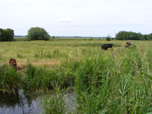 Cows grazing on the marshes