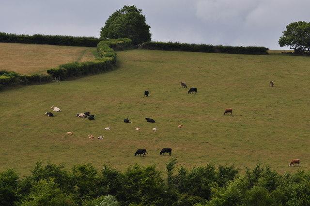 Exmoor : Cows in a Field