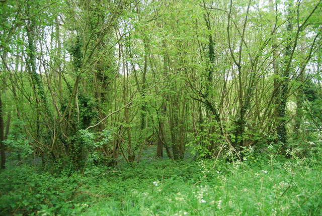 Coppiced trees by the Sussex Border Path