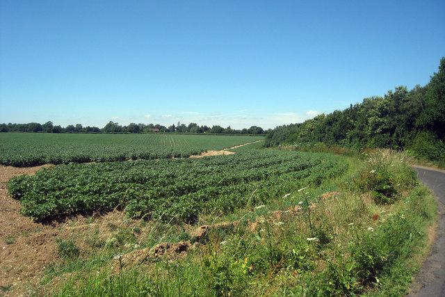 Crop Field near Stelling Lodge Farm