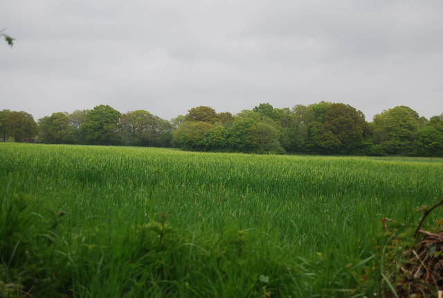 Wheat near Broadhurst Manor