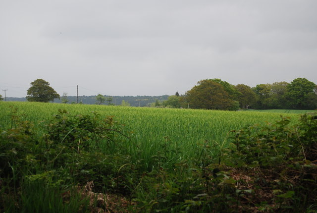 Wheat near Broadhurst Manor