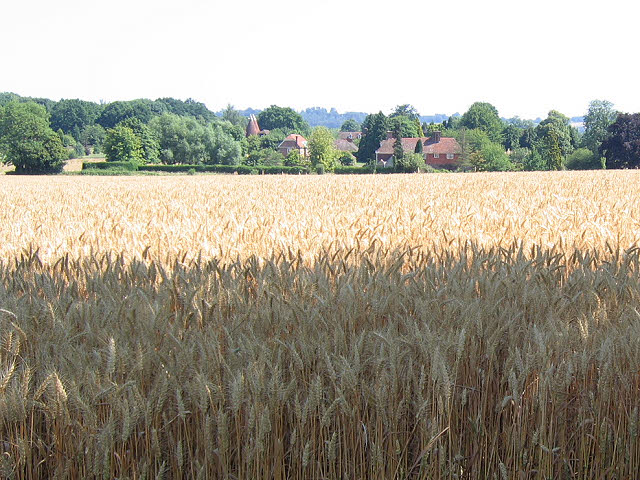 Wheat field near Ramshurst Manor