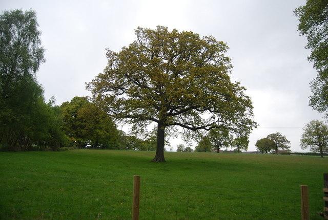 Tree north of Hurstwood Lane