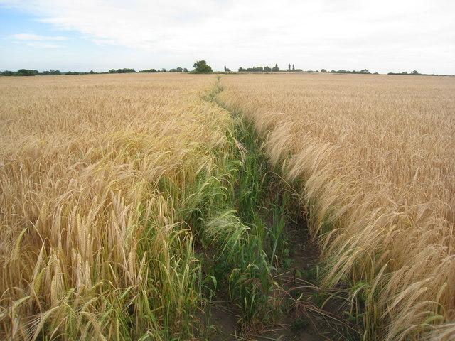 Footpath through the barley field