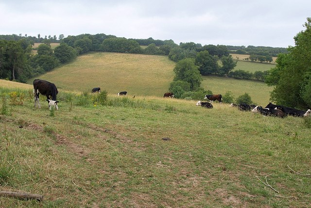 Cattle near Coombe Park