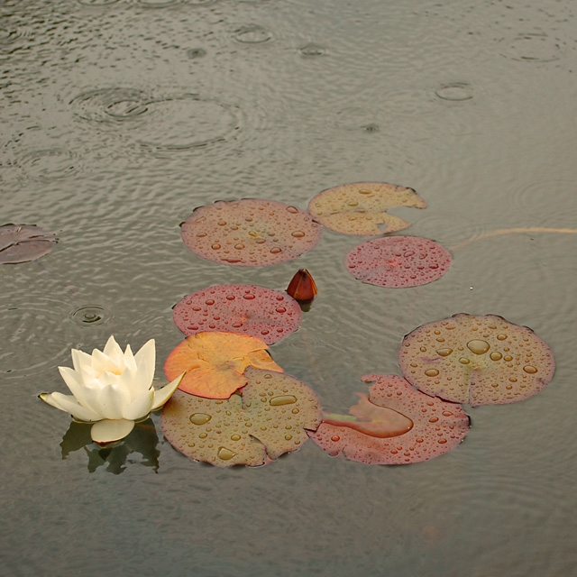 Raindrops on water lilies