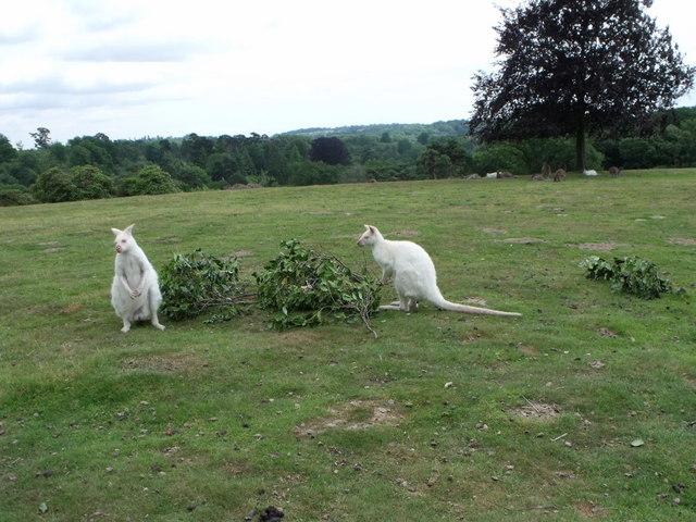 Albino wallabies at Leonardslee, West Sussex
