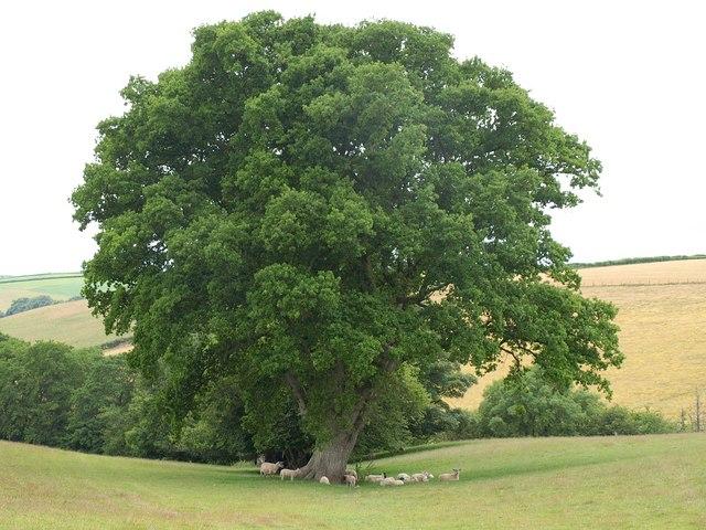 Sheep beneath an oak, Heydon Farm