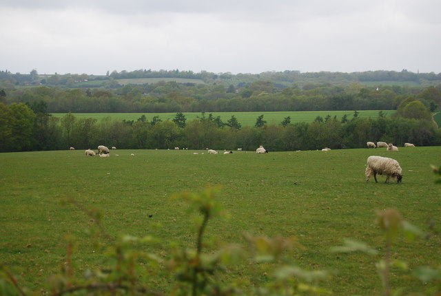 Sheep grazing by Piplye Wood