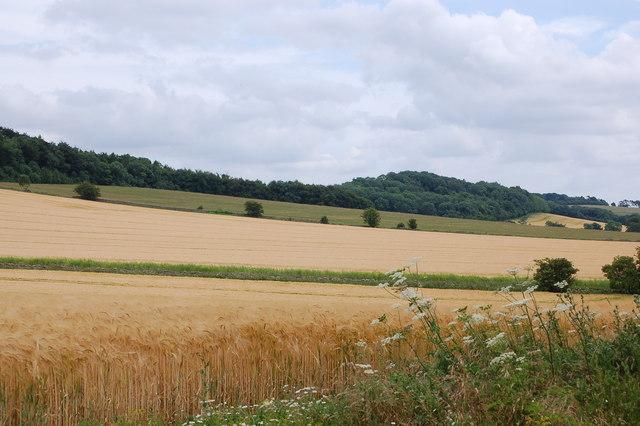 Fields of barley near Charlton Abbots