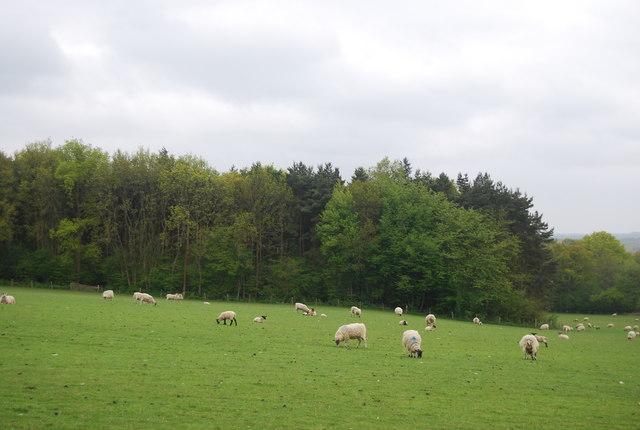 Sheep grazing near Piplye Wood