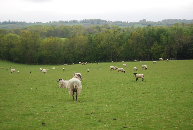 Sheep and lambs near Round Wood