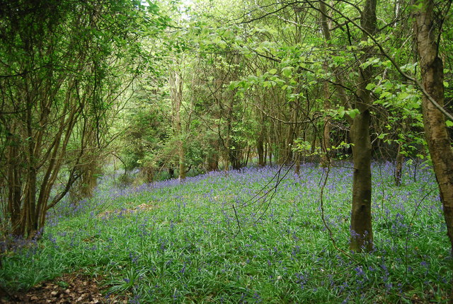 Bluebells, Round Wood