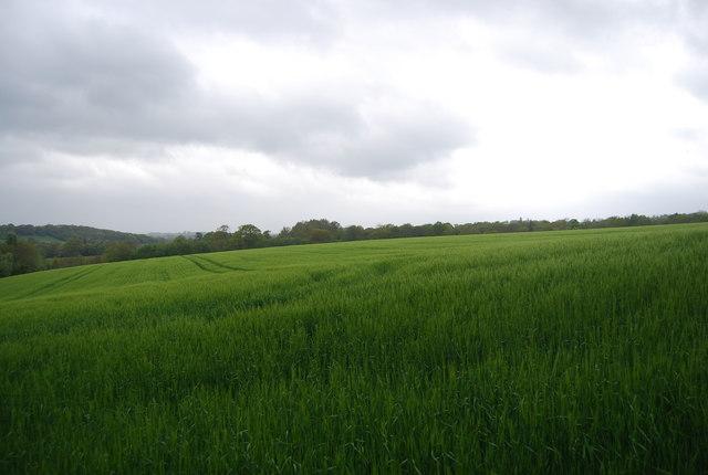 An extensive Wheat field