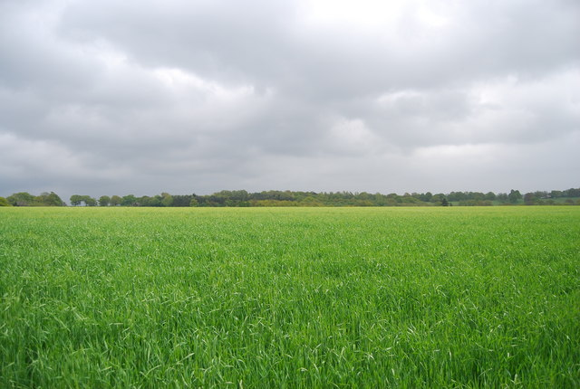 A very large wheat field