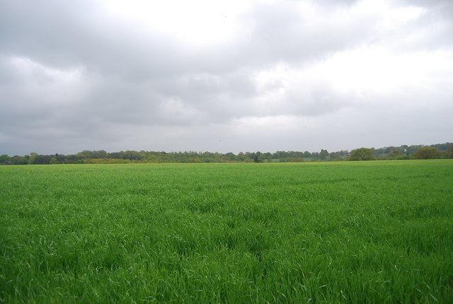 A sea of wheat by the Sussex Border Path