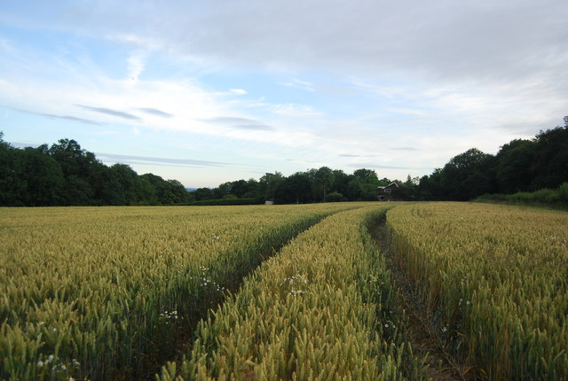 Ripening wheat near Old House Farm