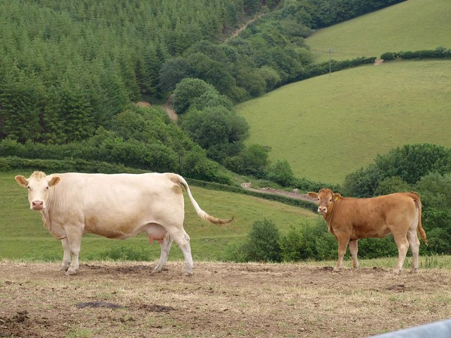 Cattle at Raddington