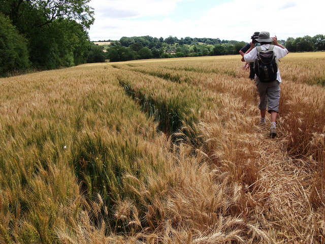Field of wheat to the north of Priors Marston village