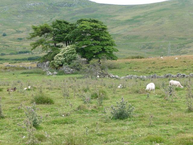 Overgrown ruins at Tan-y-braich