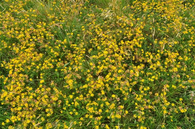 Exmoor : Yellow Flowers