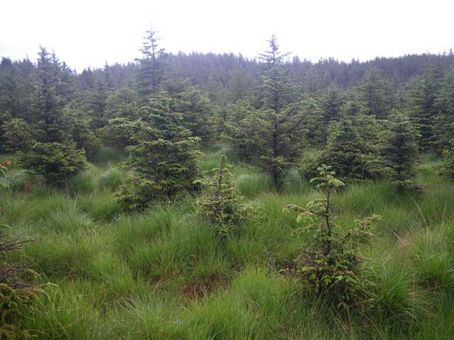 Young conifer plantation in boggy soil