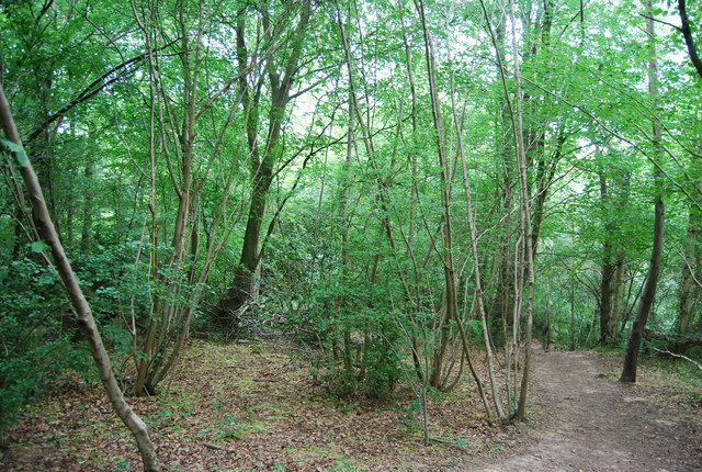 Coppiced trees, Hurst Wood