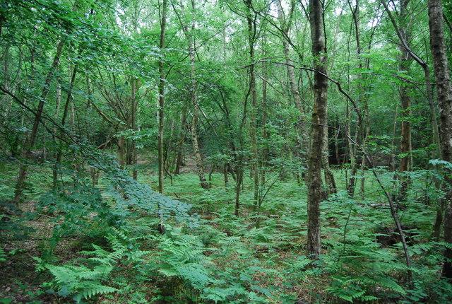 Bracken in Hurst Wood