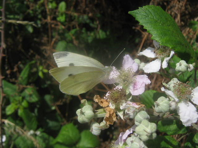 Small White Butterfly on bramble rose flower