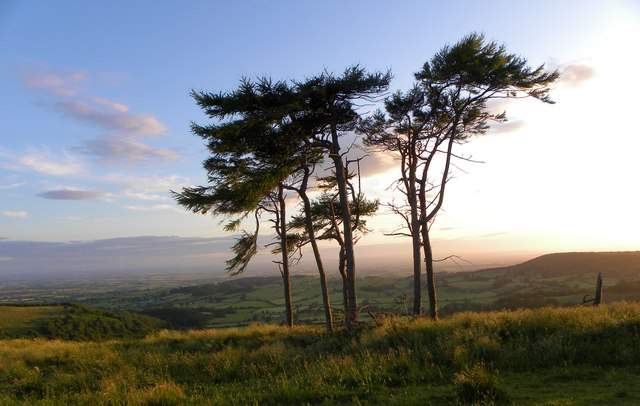 Windblown pines