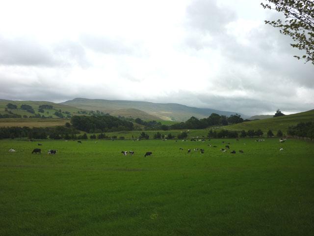Cattle grazing near Halfpenny House