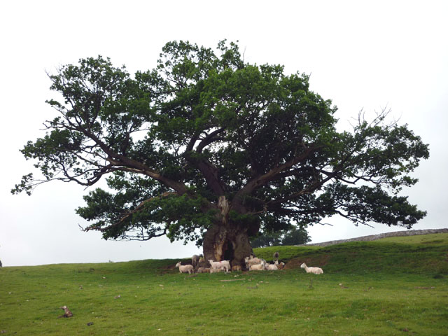 Ancient oak, Wharton Hall