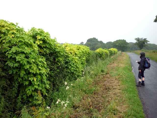 Hedge, Butt Hill Lane