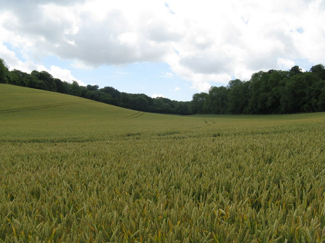 Wheat field on the slopes of Eastdean Park