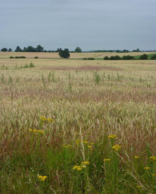 Ripening fields of grain