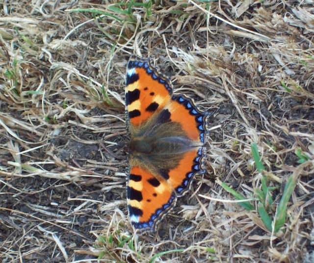 Small Tortoiseshell Butterfly on Treak Cliff