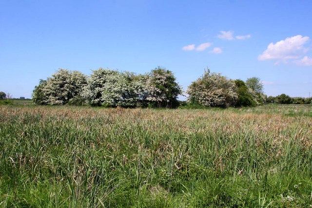 Hedgerow in flower near Benson