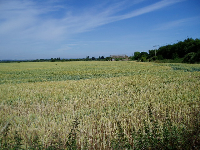 Wheat field (1)