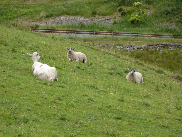 Sheep near to Ratten Clough Cottage