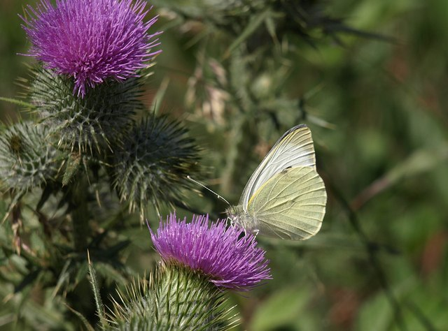 Butterfly on thistle, Woodbury Common