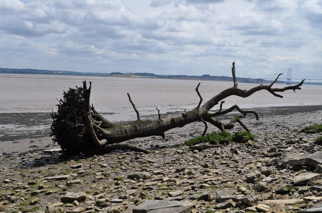 Large piece of driftwood in Severn Estuary