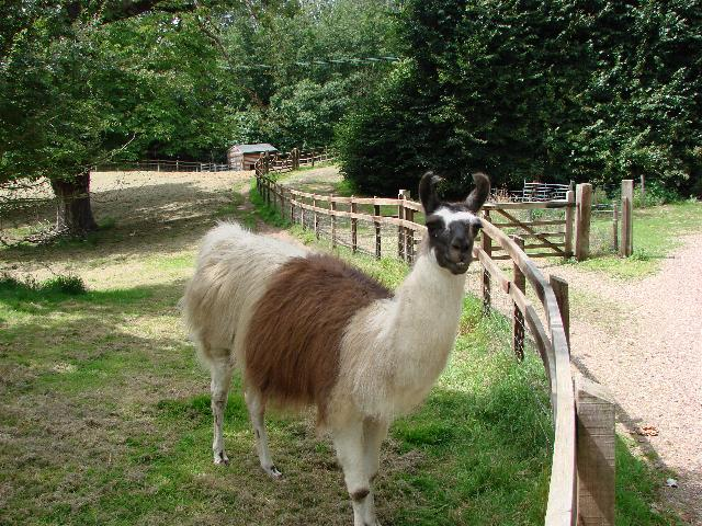Llama at Assington Hall