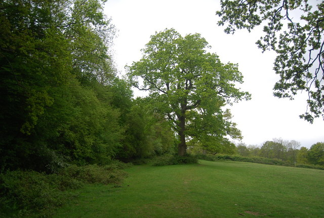 Oak tree by the footpath south from Vox End