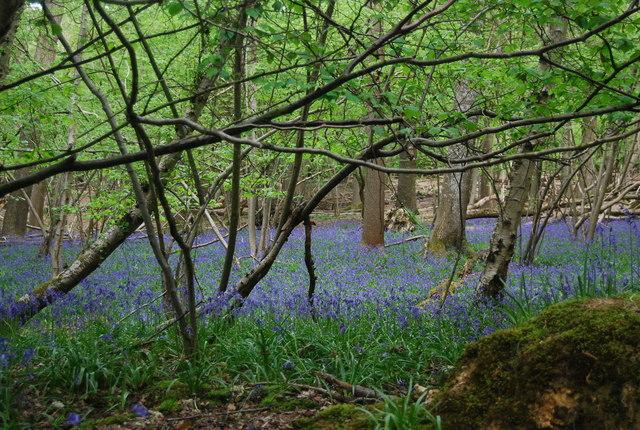 Bluebells in Wapsbourne Wood