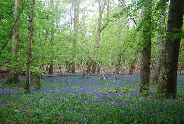 Bluebells, Wapsbourne Wood
